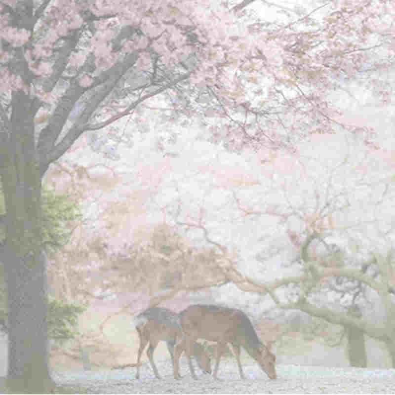 Tifones causan Japón \ es famoso cerezos que florecen temprano